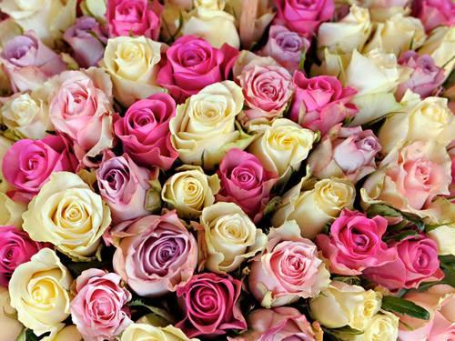 """Ruže v hlavnej úlohe @ } - , - """" - - Obrázok č. 8"""