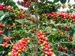 Čerstvé, zrele plody z domáceho kávovníka ,