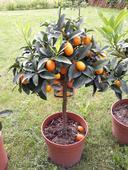Kumkvát -trpasličí pomaranč ,