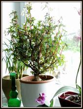 Jestli někdo zná Begonia partita, fantastická pokojová rostlina, tato je asi 12 letá.