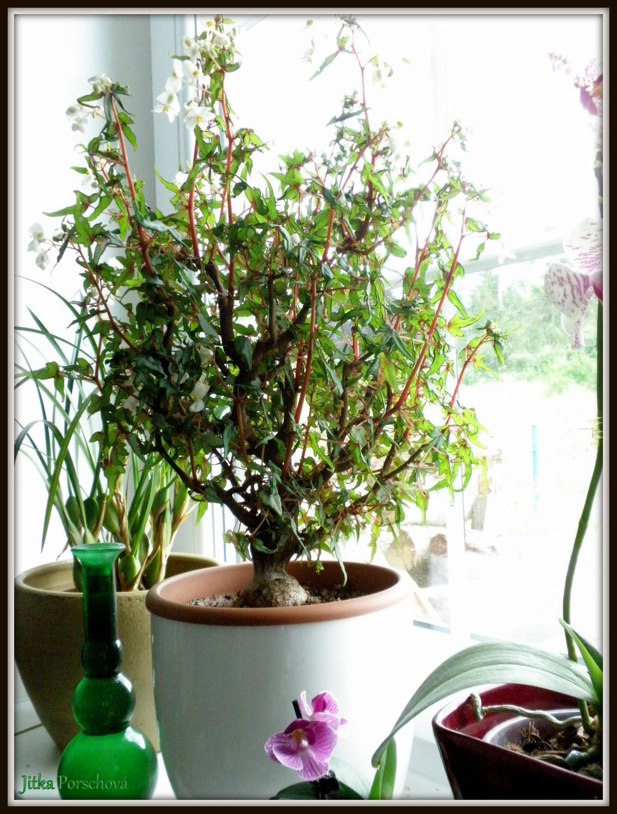 Trocha dekorace doma. - Jestli někdo zná Begonia partita, fantastická pokojová rostlina, tato je asi 12 letá.