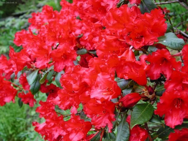 Přátelé... máte azalky i v zemi nebo jen v květináčích a na zimu dáváte dovnitř?? Paní v zahradnictví mi řekla, že se dává do země... ale vím, že se nechává i v květináčích ...... Takže ?? D ě k u j i  ;-) - Obrázek č. 1