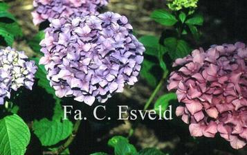 alebo taka farba, ako je ta hortenzia v pravo.. levandulova?