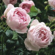 Růžová ozdoba.