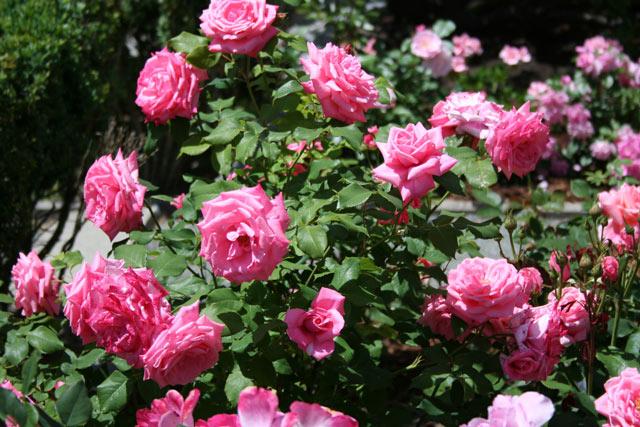 Ružový album - Obrázok č. 89