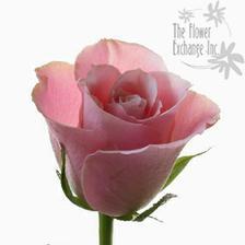 Takový odstín růží bych chtěla