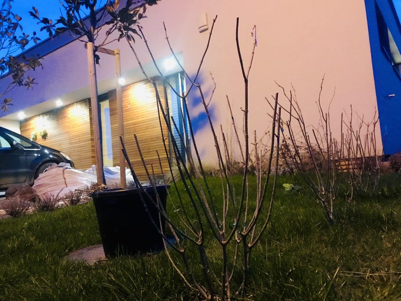 Naše L-ko - 2021 - stále dokončujeme - Bočný lem zahrady z hortenzií a prvé strihanie - limelite - Striham podla tohoto návodu pre kvety od dola až hore http://pavelchlouba.blogspot.com/2016/03/jak-rezat-hortenzii-latnatou.html