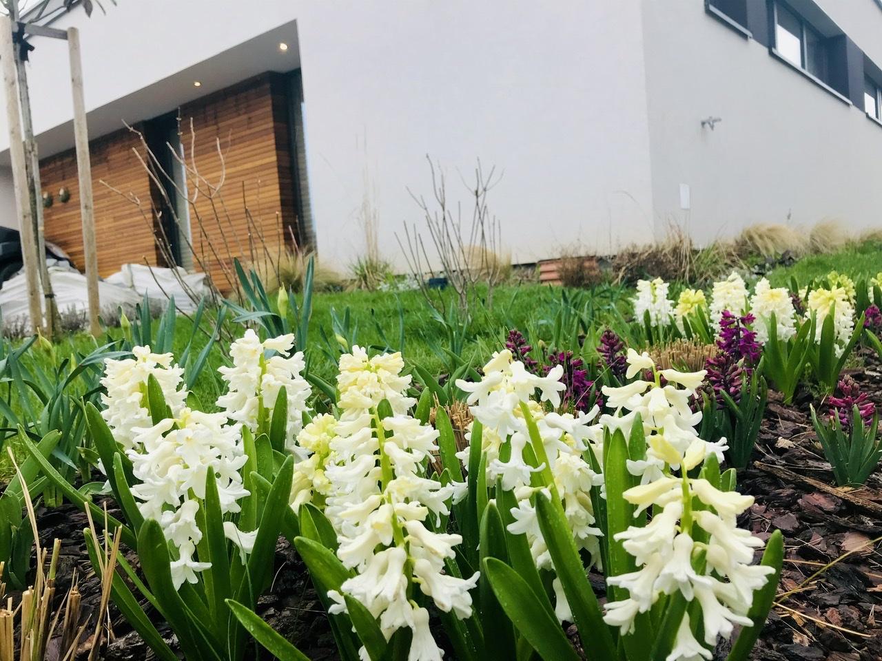 Naše L-ko - 2021 - stále dokončujeme - 5 metrový záhon cibulovin. Kvitnú biele a cyklamenové hyacinty. Zanedlho sa pripoja narcisy a tulipány. Záhon je miestom ostrihanej ozdobince čínskej ktoru teraz dočasne kvety vystriedajú