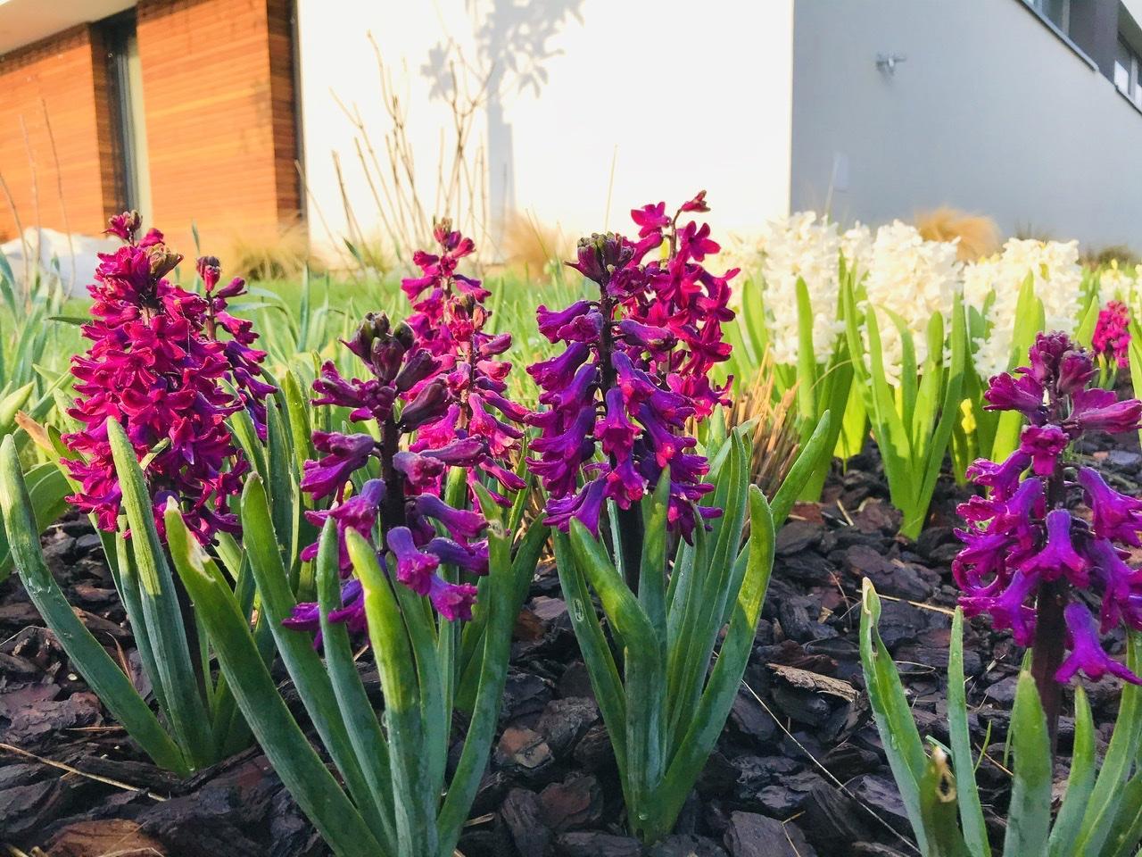 Naše L-ko - 2021 - stále dokončujeme - dnešné ráno predzahrádka - cyklamenové a biele hyacinty