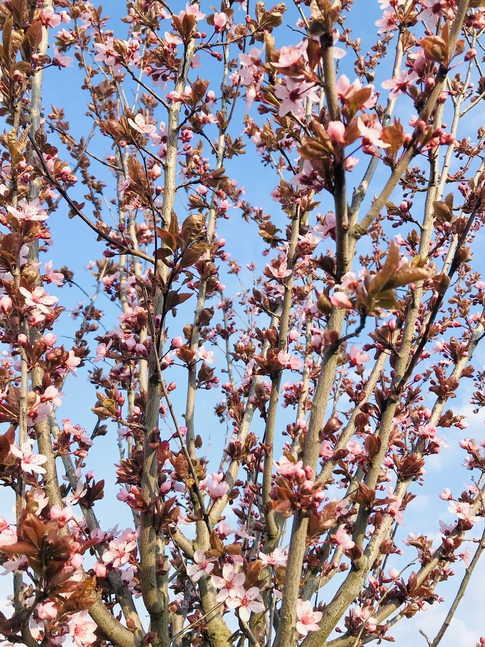 Naše L-ko - 2021 - stále dokončujeme - Z dňa na deň rozkvitli 3 stromy s ružovými kvetmi