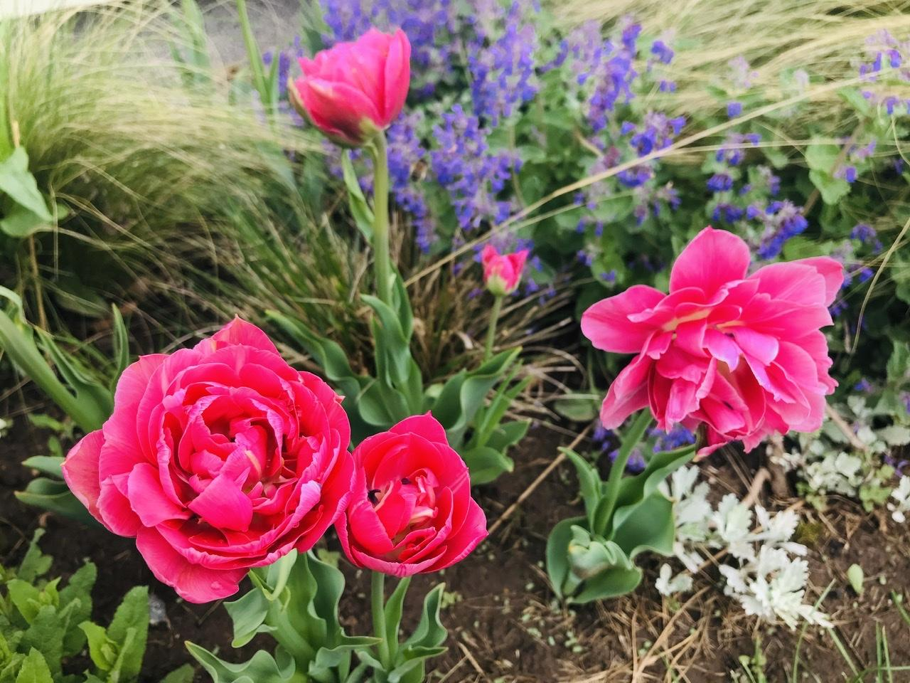 Naše L-ko - 2021 - stále dokončujeme - ráno v predzahrádke - rozkvitajú ružové pivonkové tulipáy