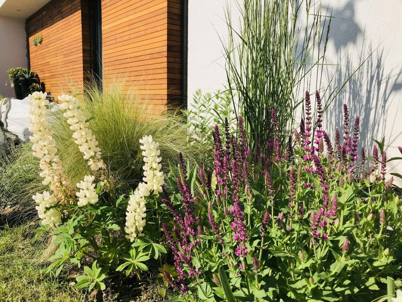 Naše L-ko - 2021 - stále dokončujeme - Biela lupina, začína šalvia, trávy, perovskie - 1 ročný záhon (sadený presne pred rokom)