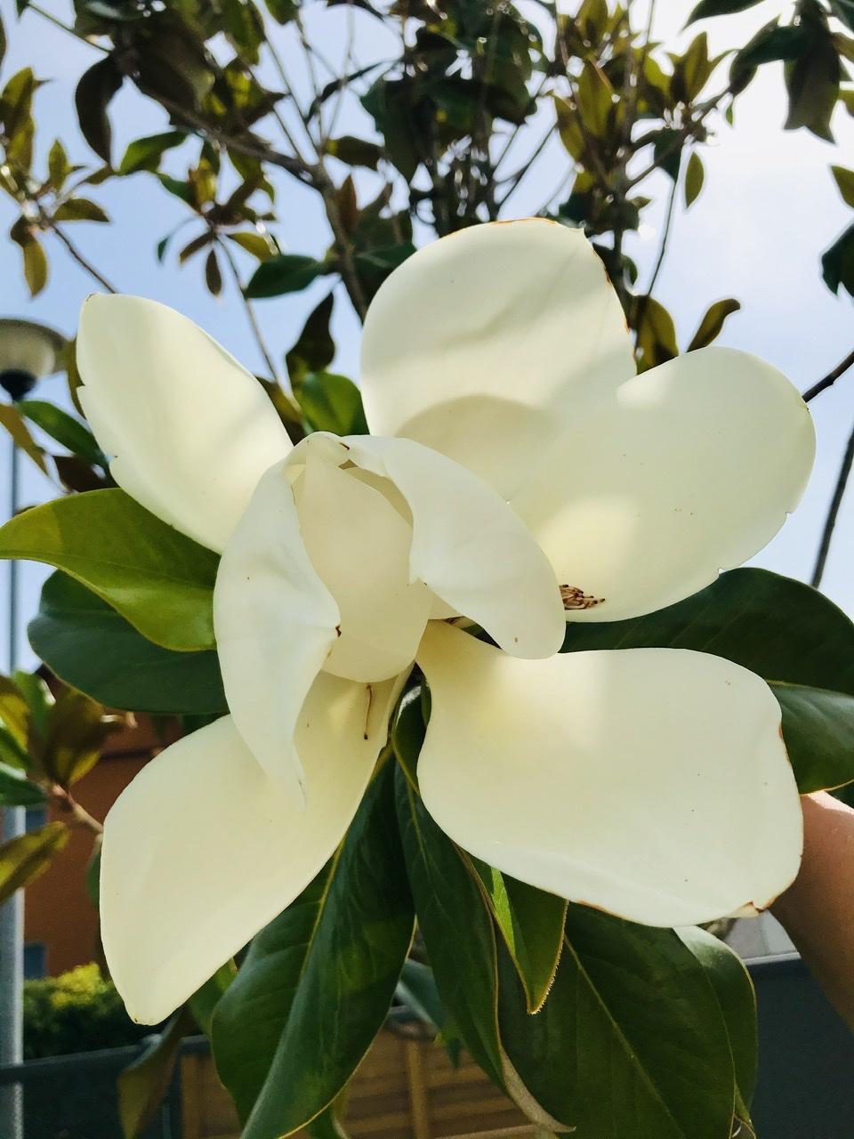 Naše L-ko - 2021 - stále dokončujeme - Kvitnúce biele velkokveté magnólie pred domom