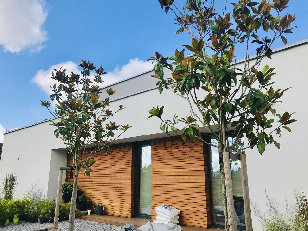Naše L-ko - 2021 - stále dokončujeme - 2 kvitnúcie velkokveté magnólie pred domom