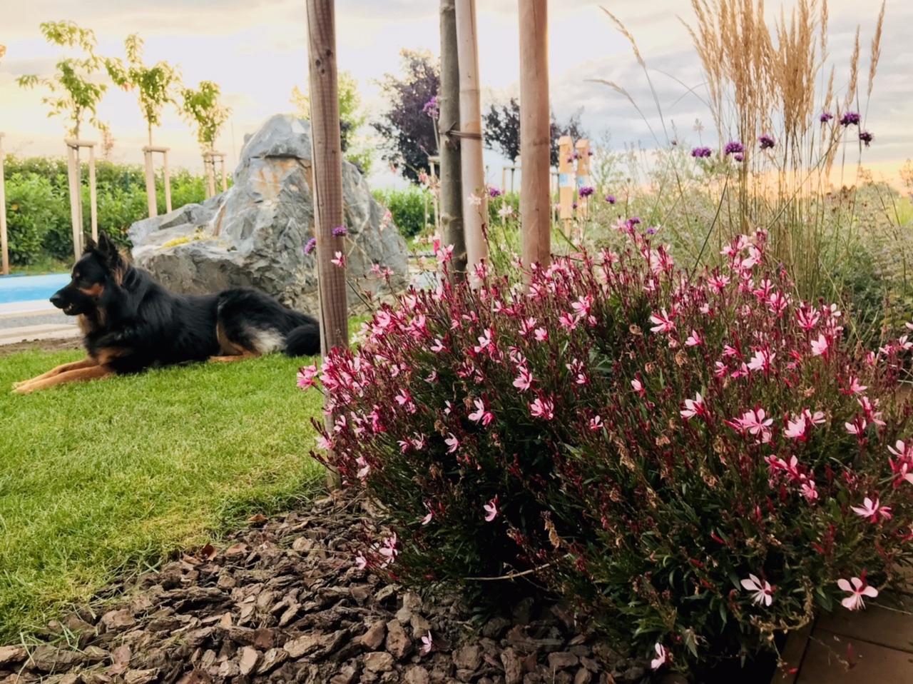 Naše L-ko - 2021 - stále dokončujeme - záhony pri terase - ružová gaura