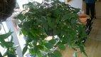 Tahavý izb.kvet Tradescantia zelena  štepy,
