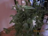 Tahavý izb.kvet Tradescantia pasikavá,