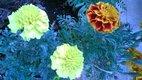 Aksamitníky semiačka mix / nízkeho vzrastu ,