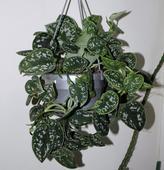 Izbový tahavý kvet Scindapsus ,