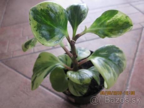 izb.kvet peperomia obtusifolia - Obrázok č. 1
