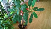 Príštec (Euphorbia leuconeura) mladniky ,