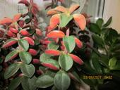 Peperomia Verticillata ,
