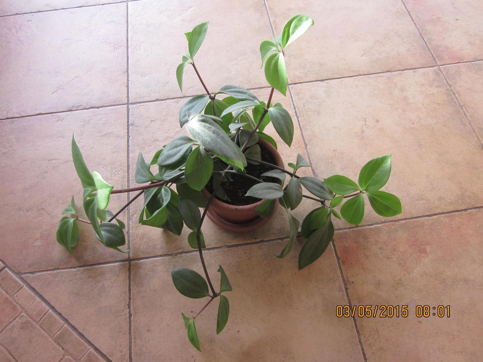 Izbovy kvet peperomia pereskifolia - Obrázok č. 1