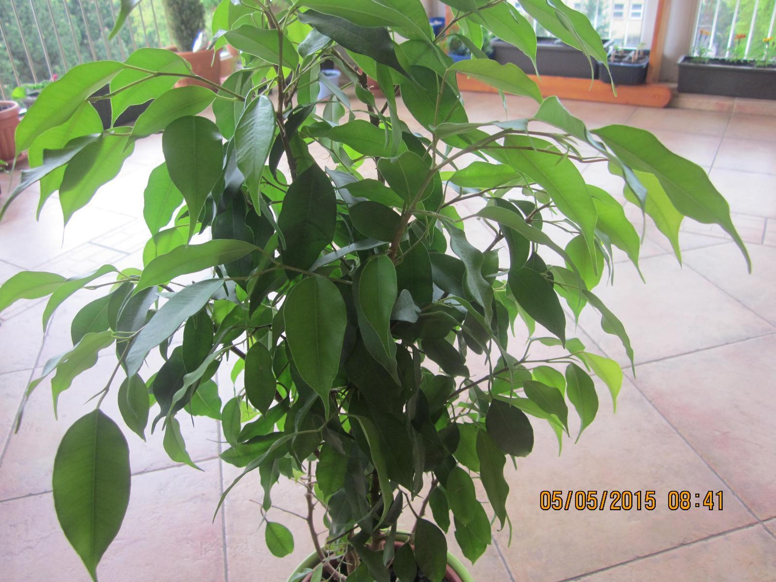 izb-kvet drobnolisty ficus Benjamin zelený - Obrázok č. 1