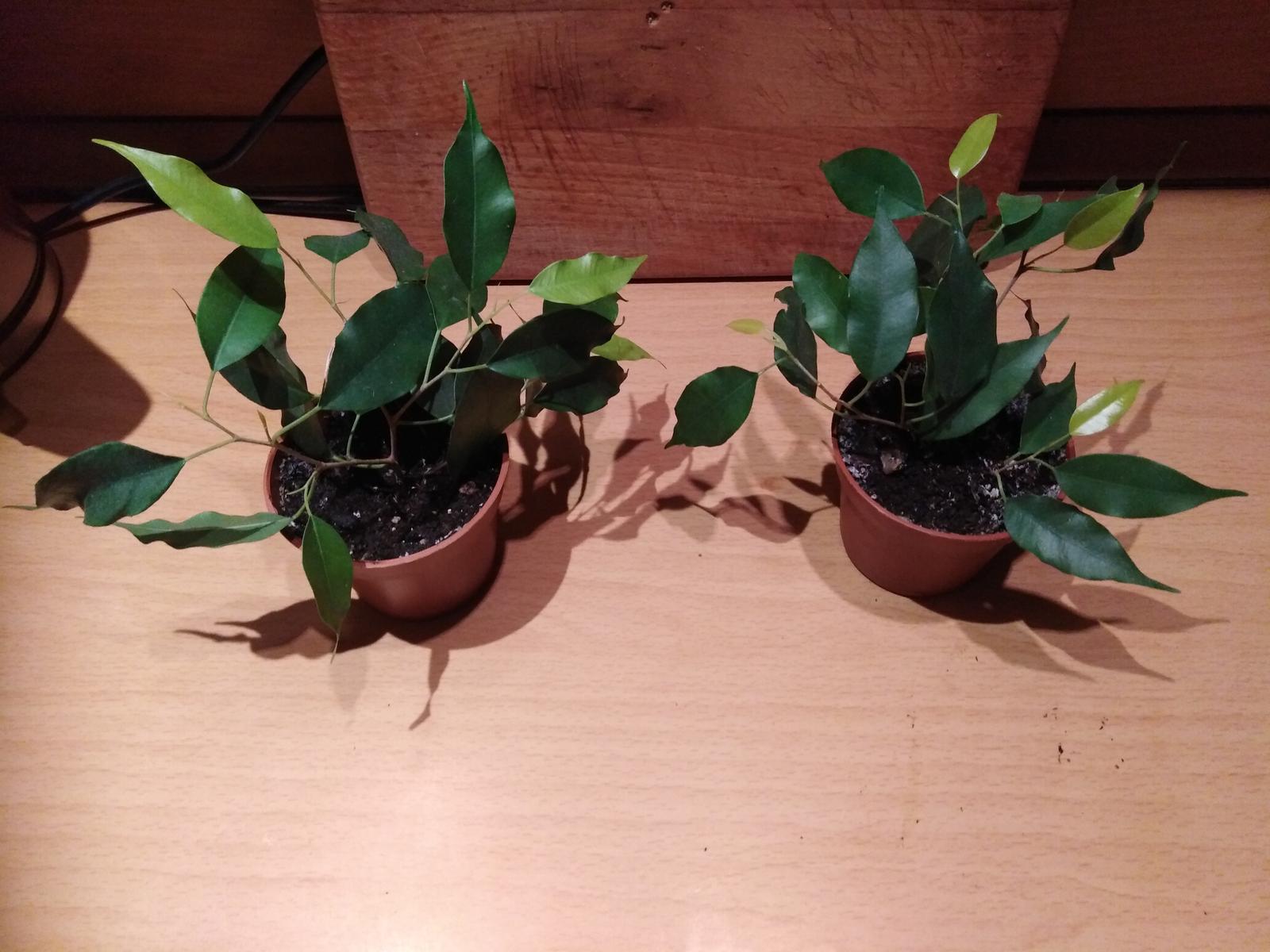 izb-kvet drobnolisty ficus Benjamin zelený - Obrázok č. 2