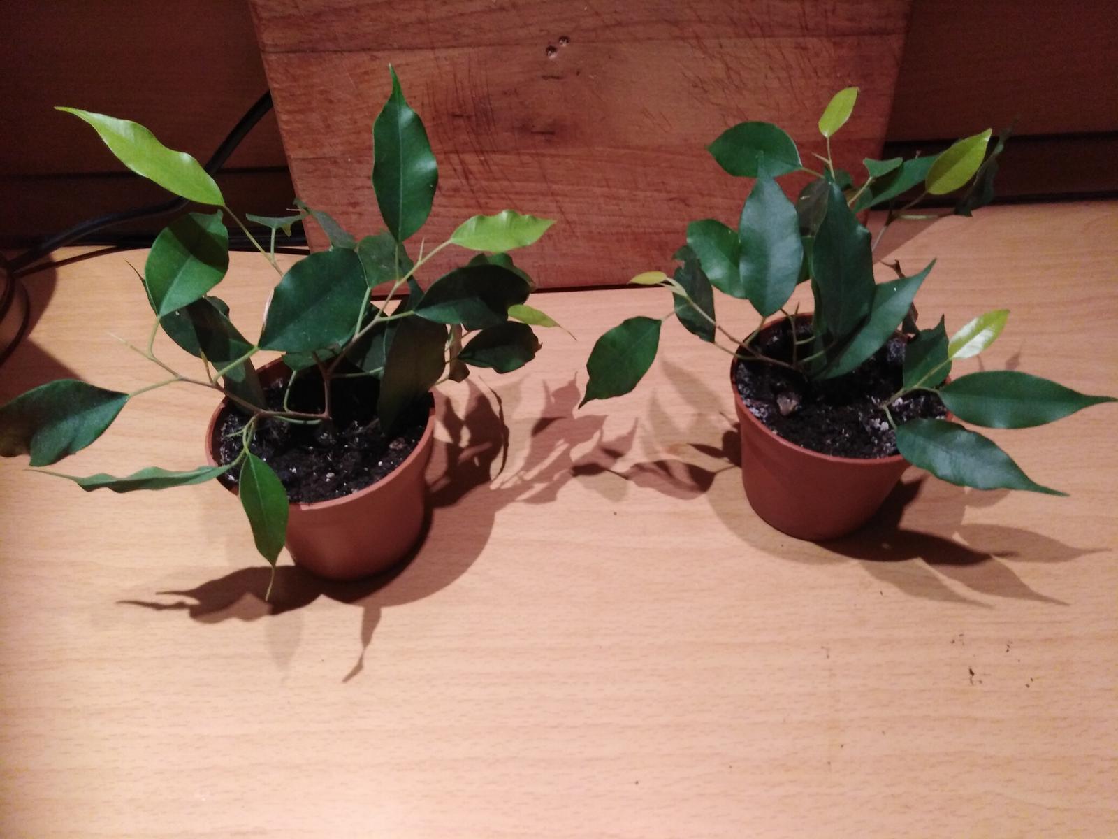 izb-kvet drobnolisty ficus Benjamin zelený - Obrázok č. 3