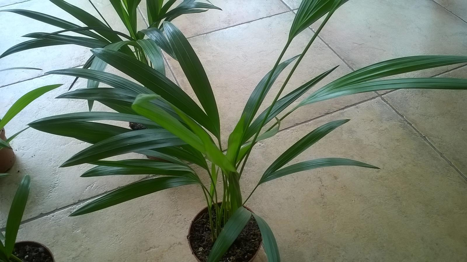 Palmička s bambusovym kmienkom areca lutescens - Obrázok č. 1