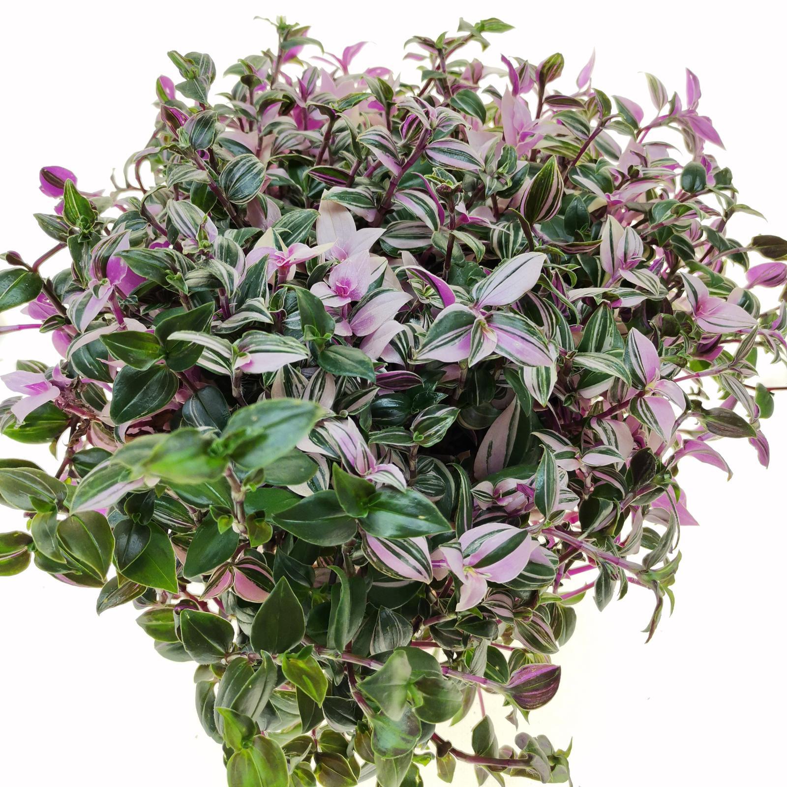 Tradescat tricolora fluminent/tahavy izb.kvet  - Obrázok č. 1