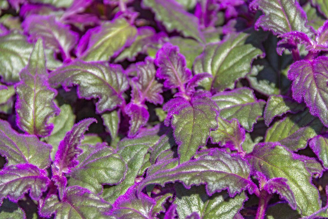 Gynura fialovo zelený kvietok  - Obrázok č. 1