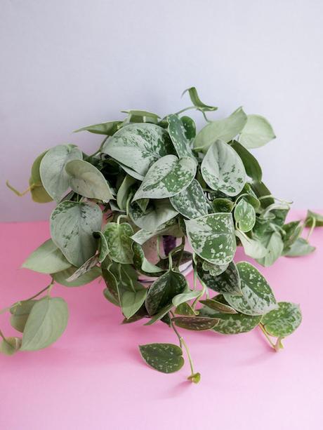 Izbový kvet tahavý scindapsus Silvery Ann - Obrázok č. 1