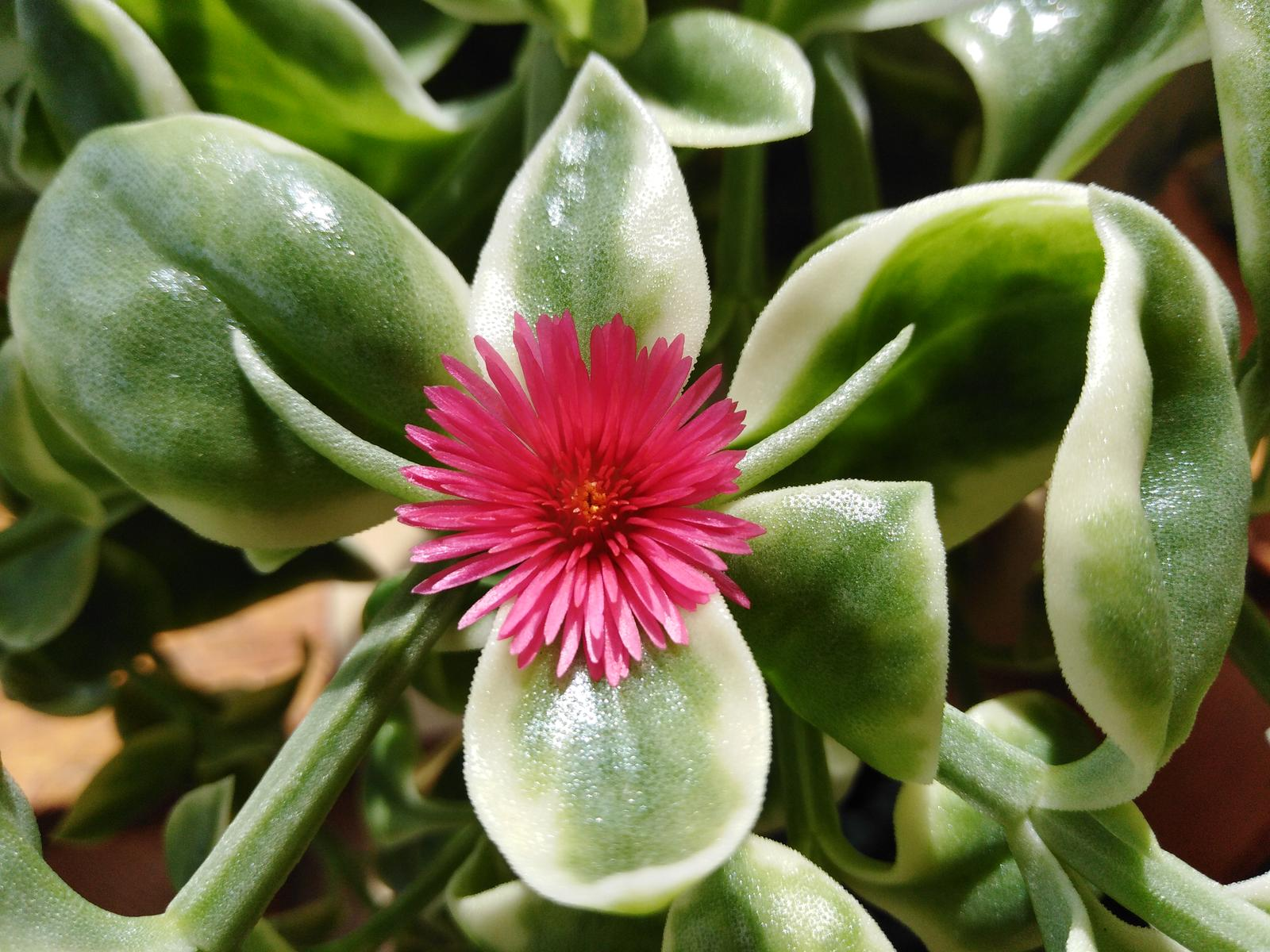 Aptenia cordifolia grecky muškat - Obrázok č. 1