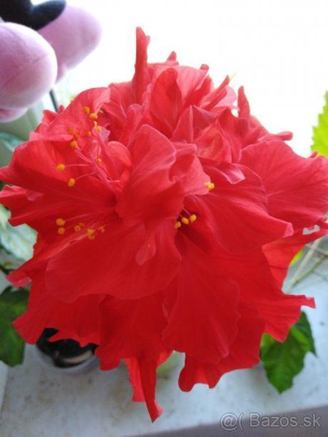 Izbová Čínska ruža plnokvetá červená - Obrázok č. 1