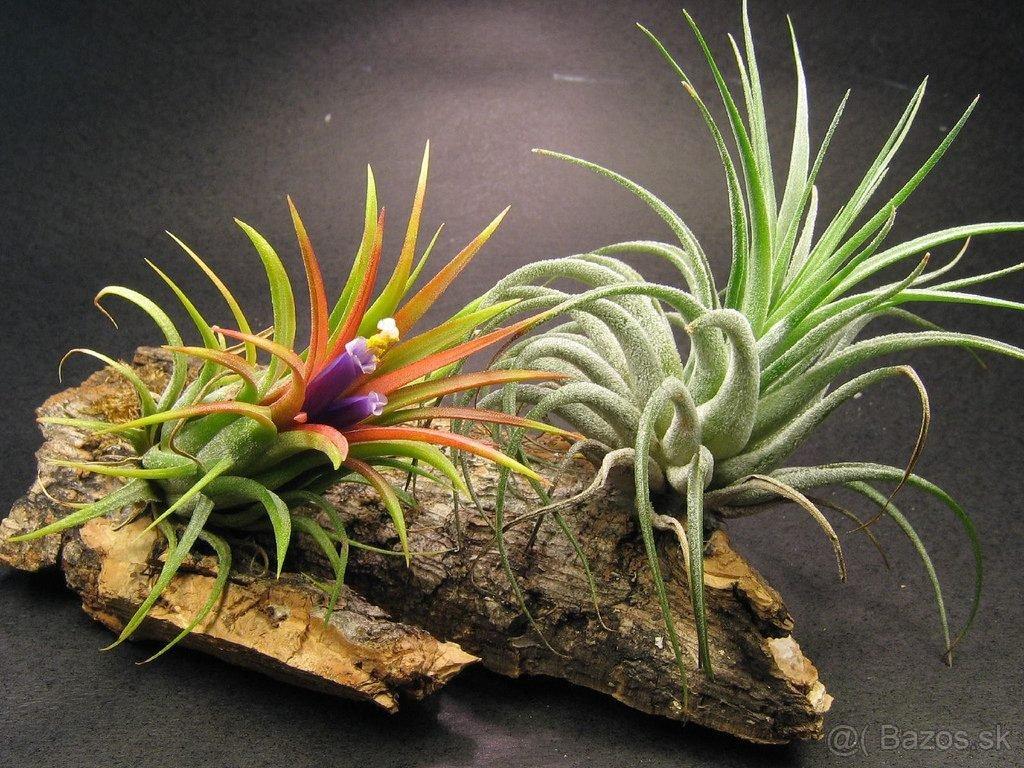 Tillandsia vzdušna rastlina - Obrázok č. 1