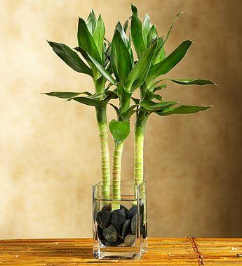 Izbova kvetinka bambus Lucky bamboo - Obrázok č. 1