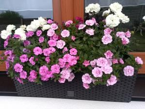 Letos kvetou nádherně