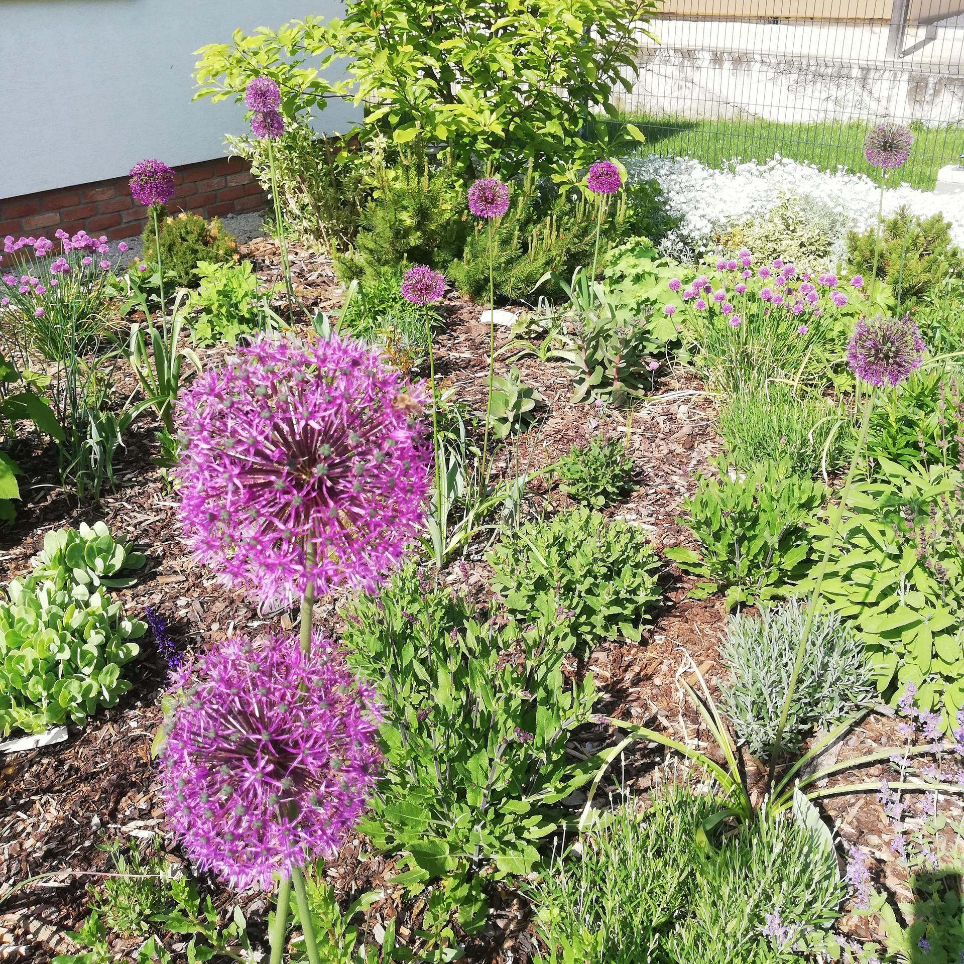 Predzáhradka v čase - Allium v plnej kráse