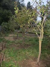višeň , letní , podzimní a zimní jablíčka