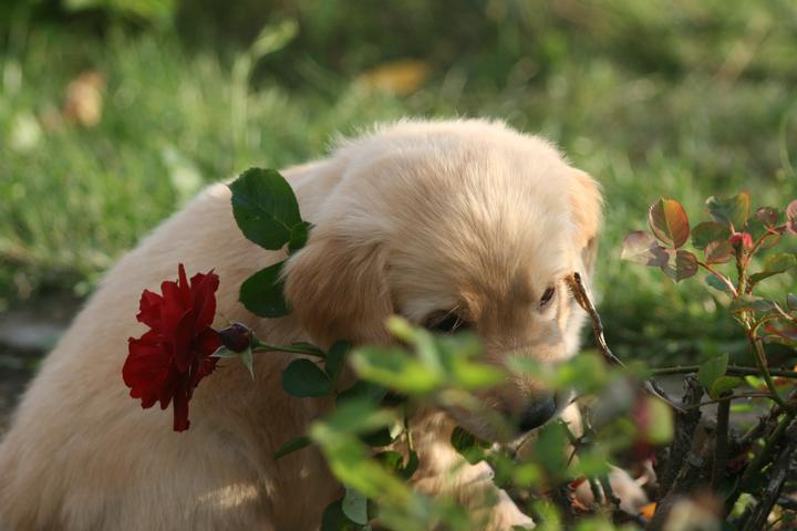 Máme štěňátka :-) - Starají se mi o růže :-)