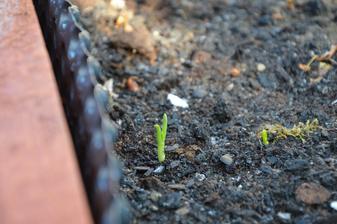 cibulke nevadí ani námraza :-) uvidíme, čo povie špenát :-)