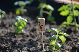 tento rok som vsadila na permakultúrne sadenie - som zvedavá či bazalka ovplyvní chuť rajčín :-)