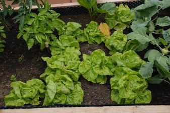 začíname papať šalátik, nie su síce uplne tvrdé srdiečka, ale v priemere ma aj 25cm - tá chrumkavosť a chutnosť sa nedá porovnať s kupovaným - sadila som zo semienka, som na seba hrdá :-)