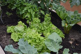 šalát ide velmi rýchlo do semena - asi si začnem davať k obedu šalatove listy ako modelky :-D