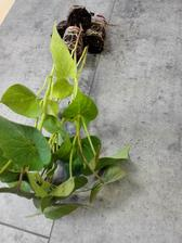 batátové planty dnes kúpené - a môžem posadiť :-)