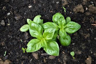 bazalka  - kúpená planta