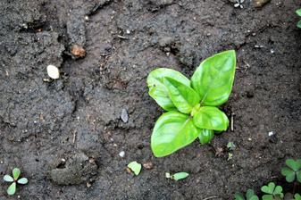 moja bazalka zo semena