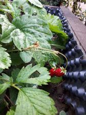 Lesne jahody ...este stale idu